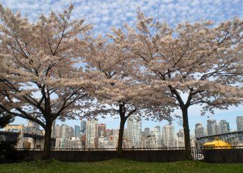 ダウンタウンを背にクリークサイドに咲く桜(カナダ・バンクーバー)