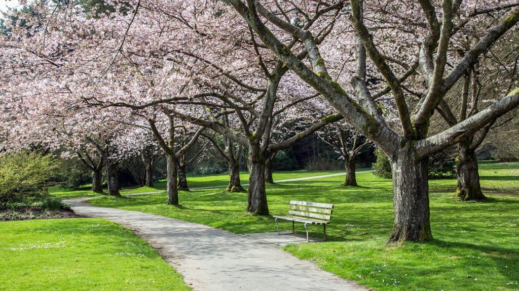 スタンレーパークの桜(カナダ・バンクーバー)